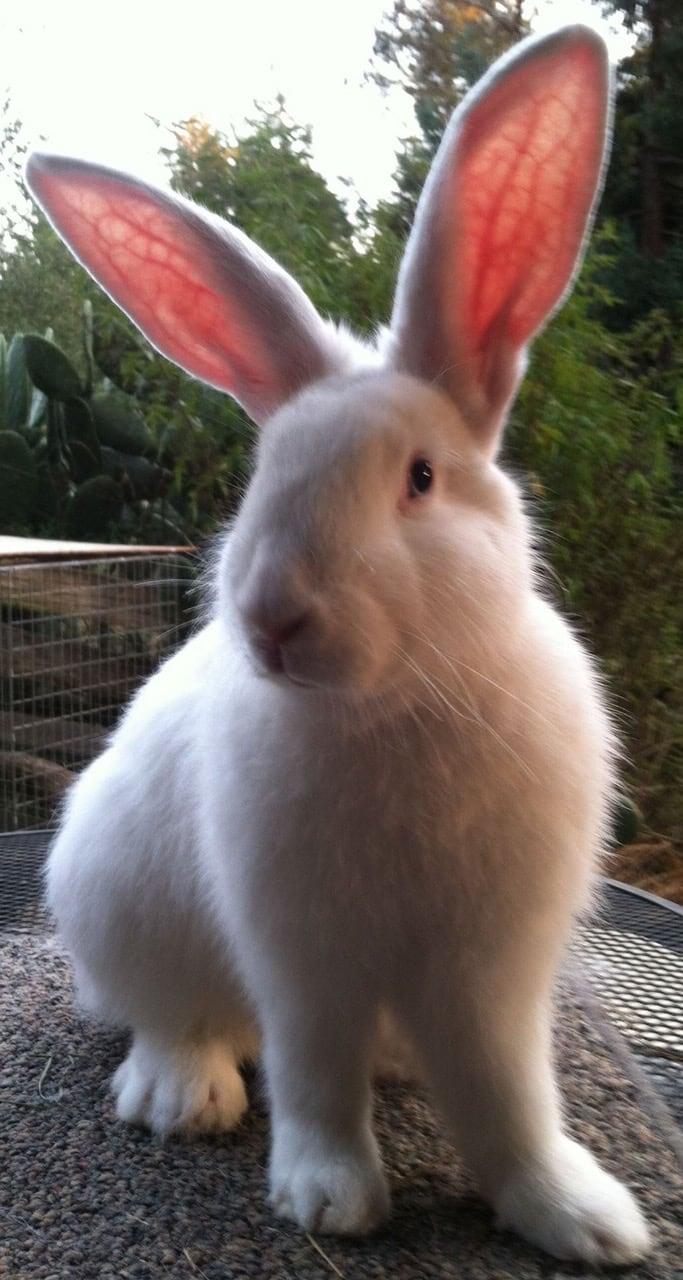 Beveren Rabbits for Beveren Rabbit Breeders